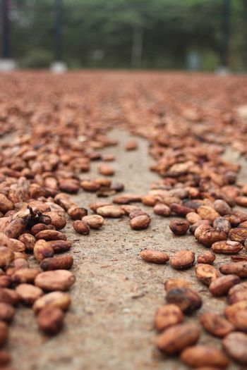 Cacao Beans Abundance Brown Close-up Day Fermentation Freshness Nature No People Outdoors Quantity Raw Coffee Bean Surface Level Tree