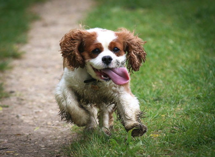 Animal Themes Cavalier King Charles Spaniel Close-up Day Dog Domestic Animals Grass Green Color Looking At Camera Mammal Mouth Open Nature No People One Animal Outdoors Panting Pets Portrait Sitting Sticking Out Tongue