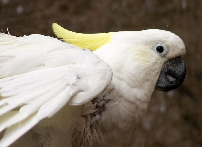 Animal Themes Animal Wildlife Animals In The Wild Beak Bird Close-up Cockatoo Day Focus On Foreground Nature No People One Animal Outdoors White Color
