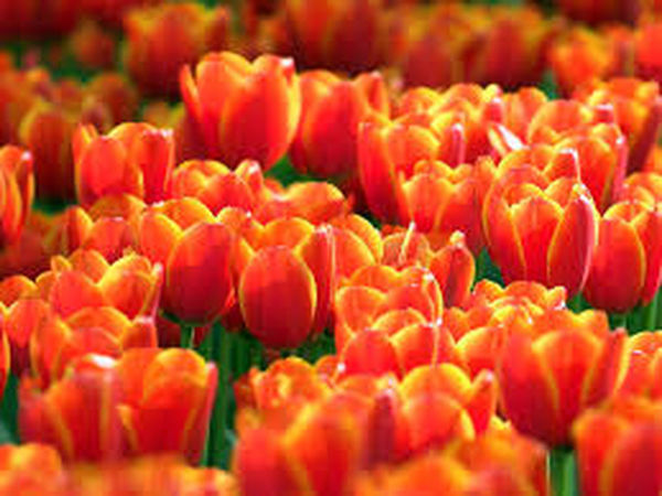Freshness Large Group Of Objects Tulip Selective Focus Red Abundance For Sale Collection Variation Choice Orange Color Full Frame Retail  Vegetable Retail Display Vibrant Color Flower Head Flower Repetition Petal