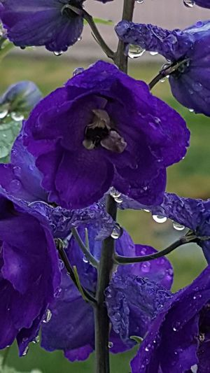 Lark spur plant Rittersporn Purple Flower Nature Beauty In Nature Petal Plant Water Fragility No People Close-up Growth Flower Head Outdoors Freshness Day After The Rain Drops Of Water Garden Photography Outdoor Photography