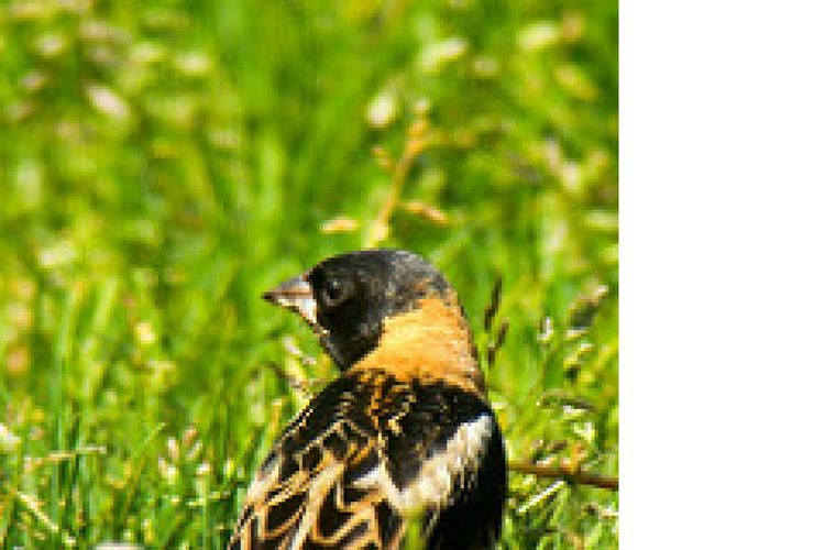 Animal Themes Animal Wildlife Animals In The Wild Bobolink Close-up Costa Rica Y Su Naturaleza Day Grass Green Color Mammal Nature No People One Animal Outdoors Uccelli Watching