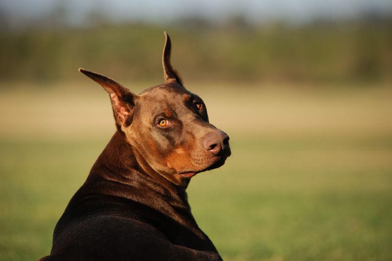 Doberman Pinscher dog Day Doberman  Doberman Pinscher Dog Guard Dog No People Outdoors