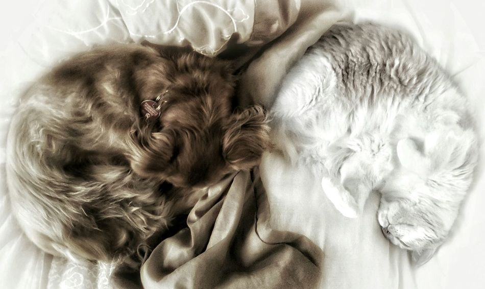 """Chocolate & Vanilla"" Animal Themes AntiM Bed Close-up Cute Dog Domestic Animals Domestic Cat Eyes Closed  Headshot Home Interior Indoors  Learn & Shoot : Balancing Elements Lifestyles Lying Down Mammal One Animal Pets Relaxation Sleeping Things I Like"