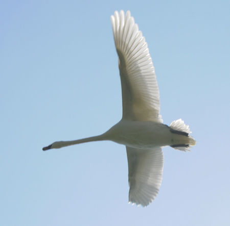 Swan Flyght Animal Animal Themes Animal Wildlife Animals In The Wild Bird Blue Clear Sky Copy Space Day Flying Im Flug Insel Poel Low Angle View Mid-air Motion Nature No People One Animal Outdoors Seagull Sky Spread Wings Swan Vertebrate White Color