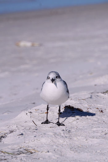 Seagull perching on snow at beach
