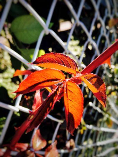 Flowers,Plants & Garden Plants Leaves Red Orange Color Sunshine Good Mood :) Nature Photography ☀️