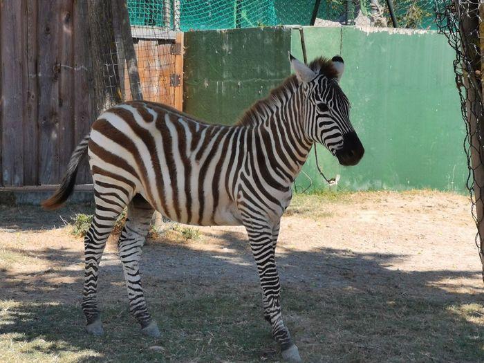 Zebras standing in zoo