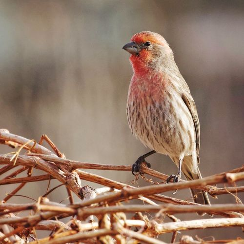 House Finch Finch EyeEm Selects Bird One Animal Animals In The Wild Perching Animal Themes Animal Wildlife Focus On Foreground Outdoors Day Nature