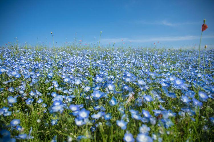 魅惑の16ミリの世界。一時期12ミリとか使ってたけど最近の最適解は16ミリ。今の時期、ネモフィラは終わり始め写真でぴょこぴょこ生えてるナガミヒナゲシが最盛期。恐ろしい繁殖力と土中に他の植物の成長阻害ホルモンをバラ撒く怖い外来種。見た目にだまされないぞ! Plant Sky Flower Flowering Plant Beauty In Nature Growth Nature Freshness Field Day Land Environment No People Fragility Vulnerability  Close-up Landscape Outdoors Tranquility Selective Focus