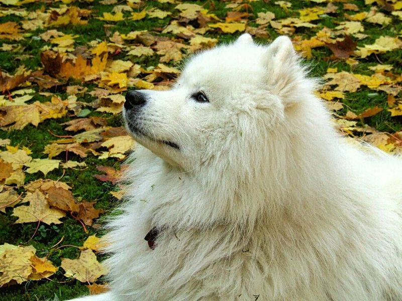 Samoyed ( Bjelkier) dog... Samoyed Dog Portrait Autumn Portrait Dog EyeEm Pets Pets Dogs I Love Dogs Dogs Of EyeEm Dogslife