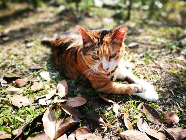 Animal Themes One Animal HuaweiP9Photography Domestic Cat Cat♡ Huawei Photography