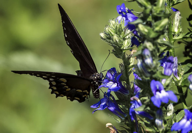 Just landed Animal Animal Themes Animal Wildlife Animal Wing Animals In The Wild Beauty In Nature Butterfly - Insect Flower Flower Head Flowering Plant Insect Nature One Animal Petal Plant Pollination Purple