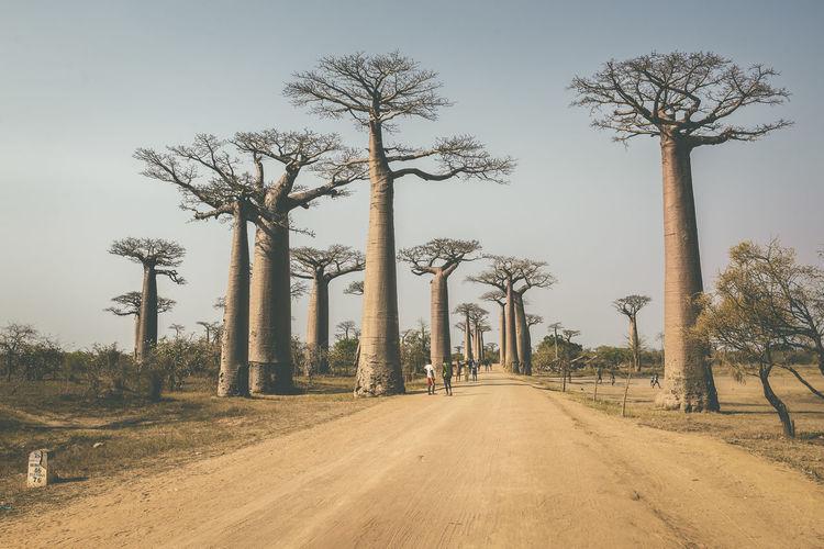 """Avenue of the Baobabs [Morondava, Madagascar] Allée des baobabs, Morondava, Madagascar // Alej baobabů u Morondavy, Madagaskar Slavná alej babobabů poblíž Morondavy na Madagaskaru. Je to vlastně """"jen"""" takový shluk stromů. Prašná cesta, po které jezdí kamiony atd. Ty stromy jsou nádherné, dokonalé, ohromné. Mají štěstí, že jsou nehořlavé a odolávájí masivnímu vypalování, které je na Madagaskaru normálním jevem. :( Africa Afrika Allée Des Baobabs Avenue Of The Baobabs Baobab Baobab Tree Baobabs Czech David Sury Davidsury.cz Holiday Madagascar  Madagascar Nature Madagaskar Morondava Outdoors Road Tranquility Tree Tree Trip Fresh On Market 2017"""