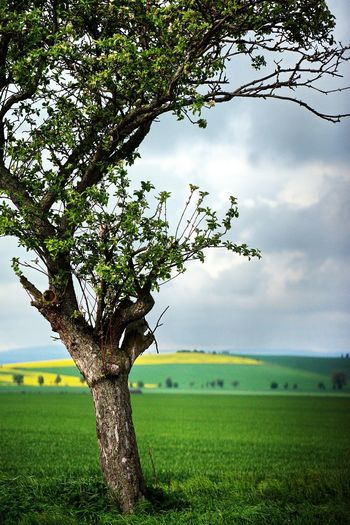 Einsamer Baum Tree Field Growth Nature Agriculture Beauty In Nature Landscape Green Color Rural Scene Tranquil Scene Day Tranquility Outdoors Scenics No People Branch Grass Sky Freshness