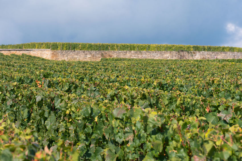Agriculture Crop  Growth Rural Scene Social Issues Flower Day Landscape No People Nature Outdoors Water Bourgogne Burgundy In A Row Wine EyeEm Selects Vines Wall Meursault Freshness Beauty In Nature Close-up Sky