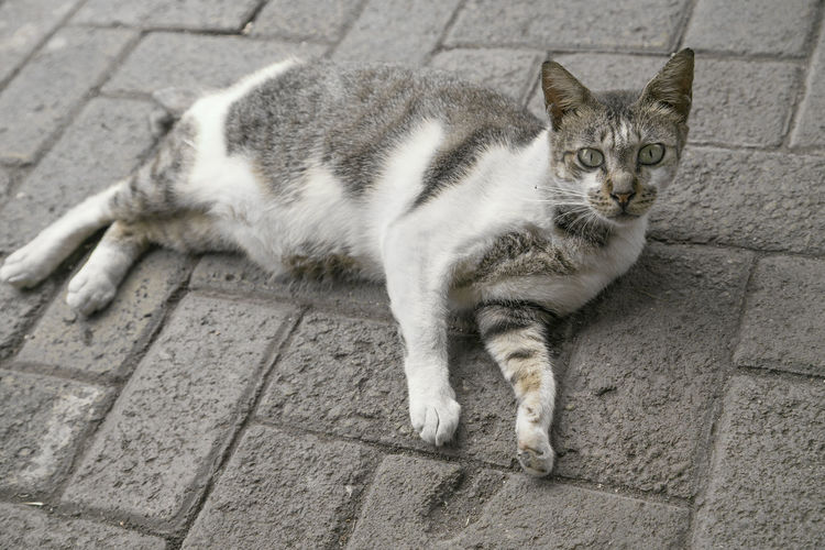 High angle portrait of cat resting on footpath