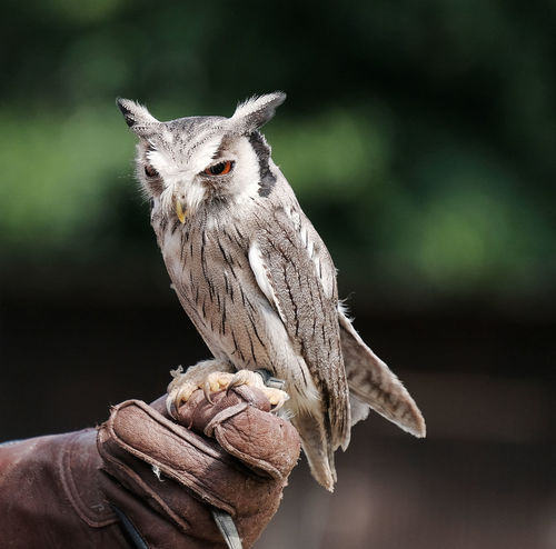 Animal Themes Animal Wildlife Animals In The Wild Bird Bird Of Prey Close-up Day Falconer Fasanerie Hanau Focus On Foreground Human Body Part Human Hand Kestrel Leather Gloves Mammal Nature One Animal One Person Outdoors Owl People Perching Real People Pet Portraits