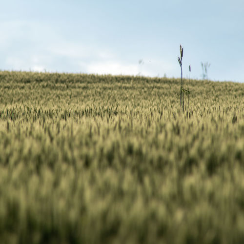 Scenic view of agricultural field against sky cereal plants wheat