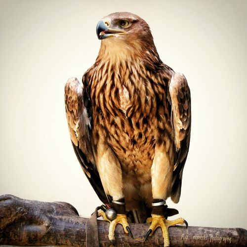 GoldenEagle Steinadler Wildlife & Nature Tierfotografie Steinadler