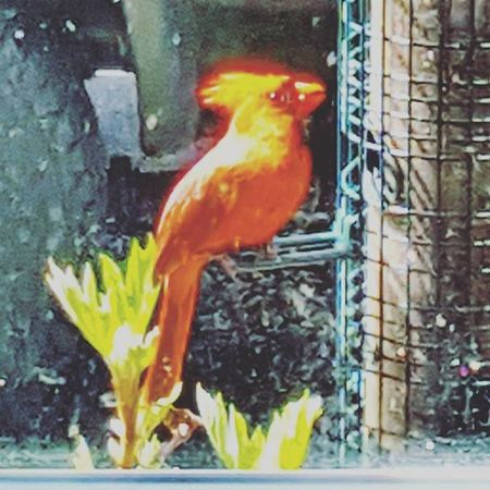 The State Bird Cardinal Bird Statebirdofohio Birdwatching Birds Cardinals Red Birdfeeder Sunnydays Spring Ohio