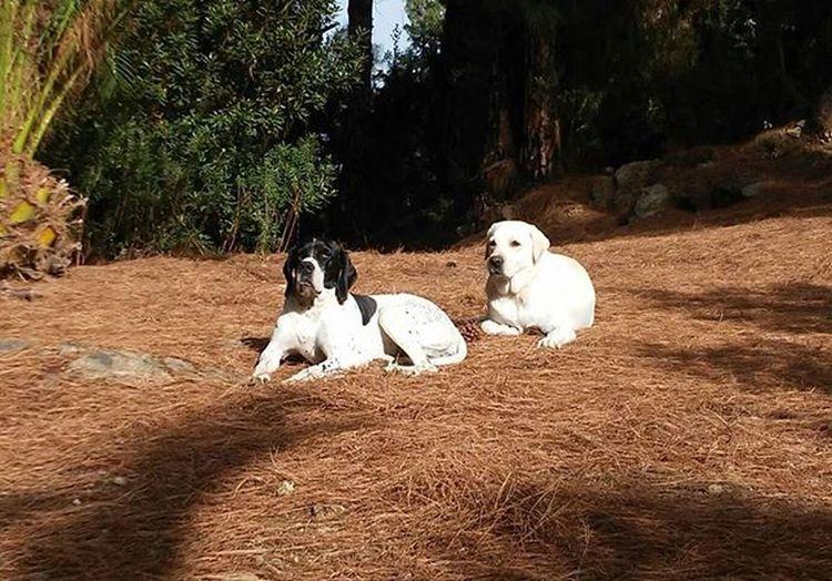Las adoro 😍❤🐶 Pointer Labrador Lovedogs