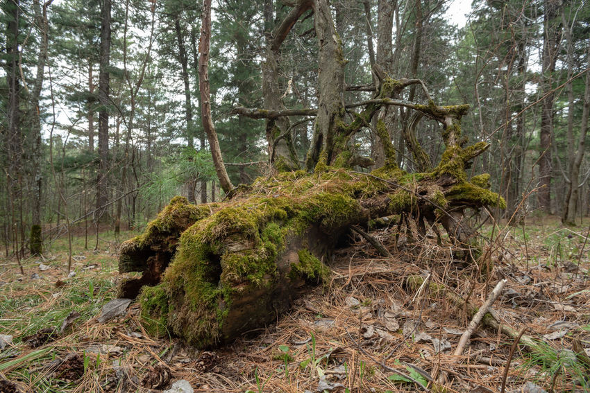 Beauty In Nature Day Environment Forest Growth Land Landscape Moss Nature No People Non-urban Scene Outdoors Plant Root Scenics - Nature Tranquility Tree Tree Trunk Trunk WoodLand