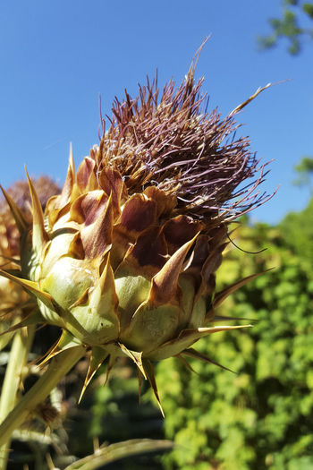 Artichoke Thistle Beauty In Nature Botanical Gardens Botany Cardoon Flower Head Madrid Spain No People Sky