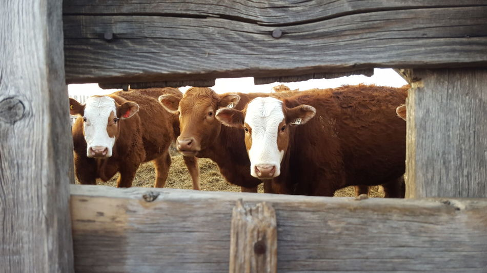 Our new friend Cow Livestock Cattle Agriculture Animal Themes Barn Heifer