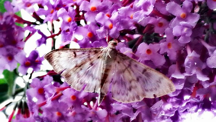 Butterfly ❤ Butterfly On Flower Butterfly - Insect Freshness Beauty In Nature Nature Day Outdoors Summer Lilac Flower Purple Full Frame No People Pink Color Close-up Fragility Scenics Growth