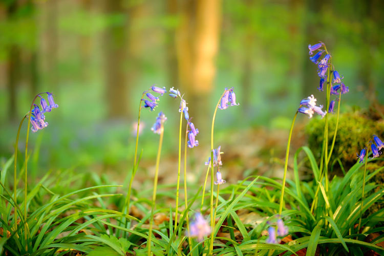 The magic of Hallerbos - bluebells - April 2019 - Plant Flowering Plant Flower Growth Freshness Beauty In Nature Fragility Land Vulnerability  Selective Focus Field Close-up Nature No People Day Purple Green Color Focus On Foreground Outdoors Grass Flower Head Bluebells Hallerbos Bois De Hal Hyacinth Flower