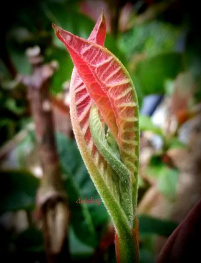 guava leaves top Nature