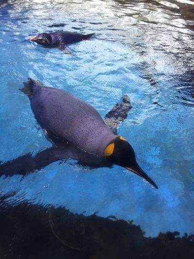 King Pinguine Bird Pinguin Swimming Antarctic Cold Climate Change Zoo Extinct Cute