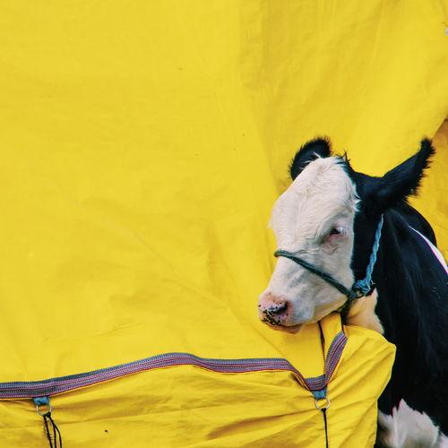Paint The Town Yellow One Animal Domestic Animals Livestock Animal Themes Yellow Background Mammal Animal Day Yellow