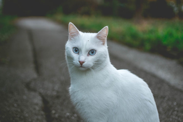Portrait of white cat sitting on road