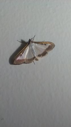 Animal Antenna Animal Wing Beauty In Nature Close-up Insect Photography Moth Nature Night Nightphotography No People