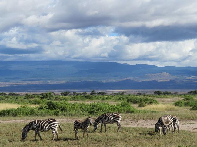 Safari Animals Safari Africa Kenya Animals In The Wild Large Group Of Animals Gaming Zebras African Safari Mount Kilimanjaro Zebra