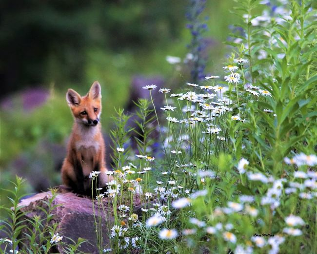 Kit in the Dasies The Great Outdoors - 2018 EyeEm Awards Animal Animal Themes Animal Wildlife Animals In The Wild Day Flower Flowering Plant Fox Growth Land Looking At Camera Mammal Nature No People One Animal Outdoors Plant Portrait Purple Selective Focus Vertebrate