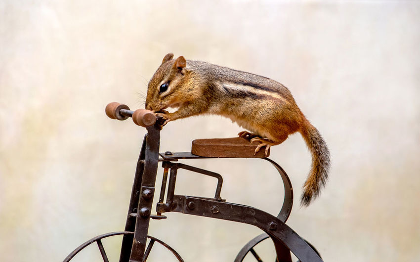 Close-up of a squirrel