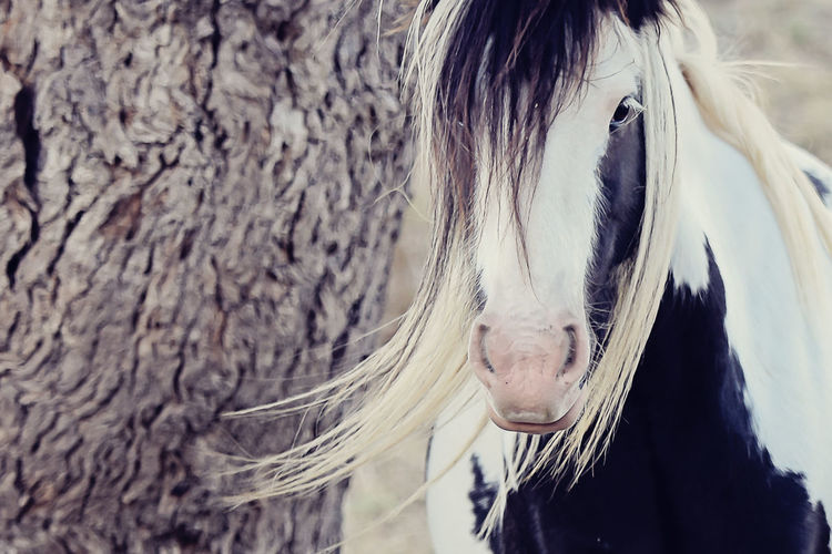 Close-up of gypsy horse by tree