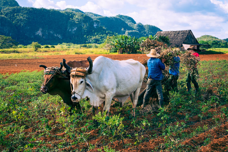 Cows standing on field against mountains