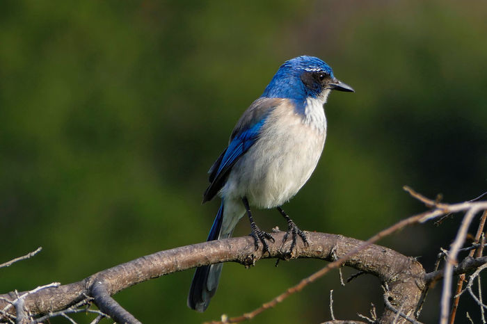 Animal Themes Beauty In Nature Bird Blue Close-up Day Focus On Foreground Nature No People Outdoors Perching Selective Focus Western Scrub Jay Wildlife
