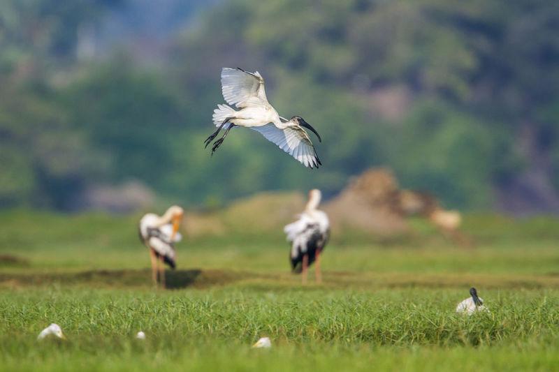 Seagull flying in a field