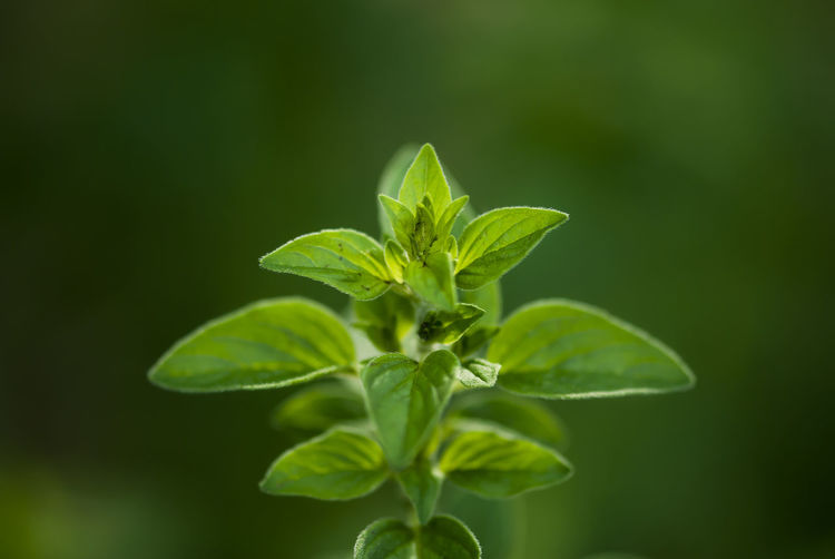 Mint leaves grow against a vibrant green background. Agrigulture Aromatherapy Background Botanical Edible  Freshness Garden Gardening Growth Healthy Healthy Eating Herb Herbal Leaf Leaves Medicinal Menthol  Mint Mint Leaves Nature Peppermint Plant Seasoning Spring Summer