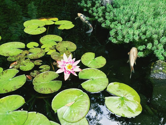Water Floating On Water Green Color Plant Nature Beauty In Nature Close-up Flower Outdoors High Angle View Day No People Lotus Flower Lotus Fish Tank Beauty Nature Beauty In Nature Garden Photography