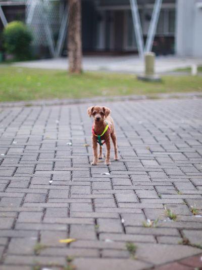Portrait of dog walking on footpath