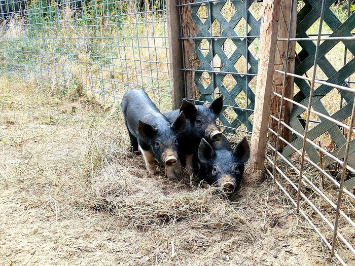 Piglets Feeding Outdoors Animal Themes Nature Mammal Close-up Domestic Animals Sandpoint Pigs Looking Adorablebaby