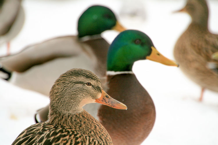 Mallard ducks on field during winter