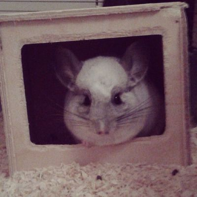 My beautiful little madam is pooped from the move but rather content in her little hut ^.^ Chinchilla Mosaic Littlefeeties Woodenhut