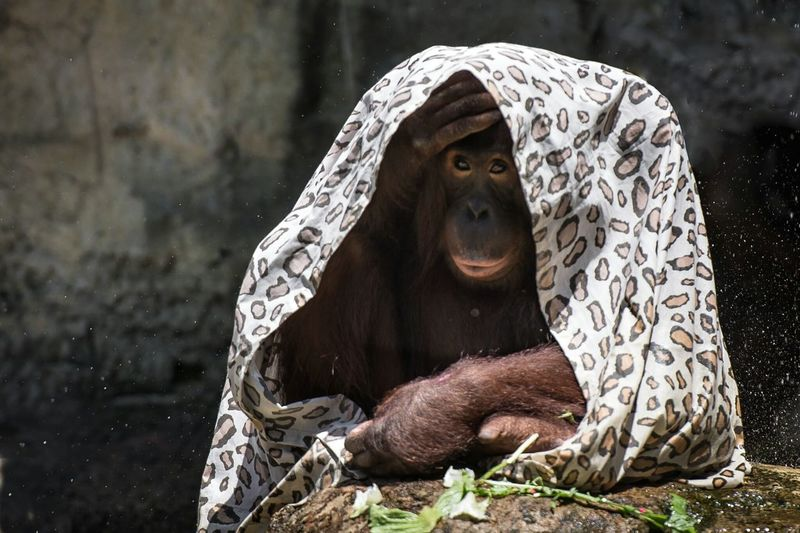 Orangutan Under Cover Zoo Animals  Zoo Animal Photography Apes St Louis Zoo Animal_collection Funny Cute EyeEm Nature Lover Eye4photography  Huffpostgram Natgeotravel Nikon Enjoying Life